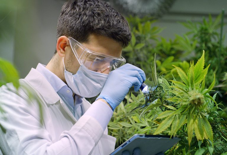Portrait of scientist with mask, glasses and gloves checking hemp plants in a greenhouse. Concept of herbal alternative medicine, cbd oil, pharmaceptical ...